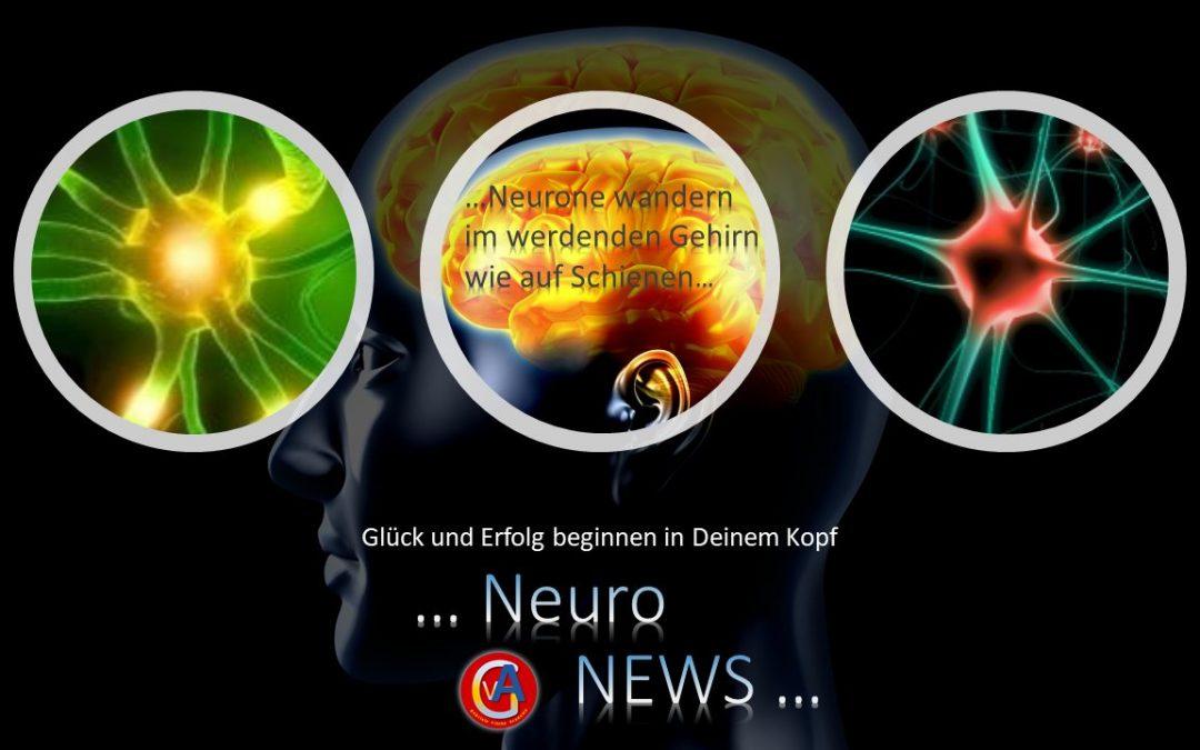 Neurone wandern im werdenden Gehirn wie auf Schienen